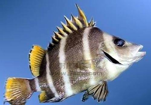 告诉你海里有哪些鲷    鲷在沿岸附近海底较深的地方食贝,虾,海底动物