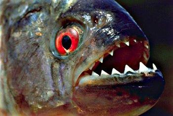 南美洲食人鱼