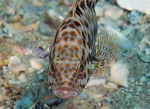 石斑鱼图片赏析