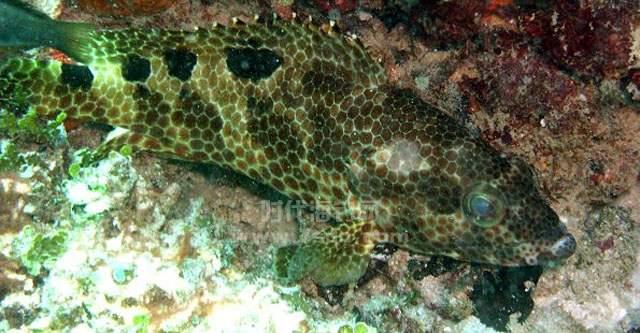 吻斑石斑鱼图片