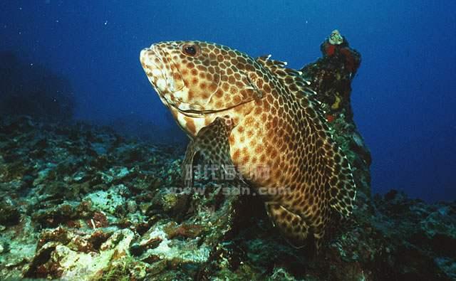 玳瑁石斑鱼(花头梅、花狗斑)