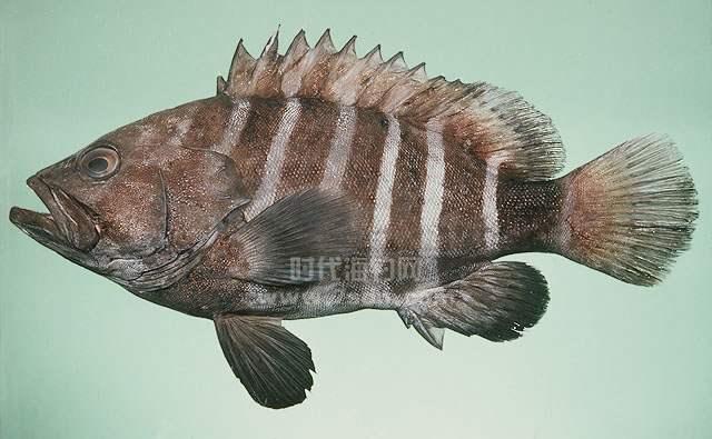 间带石斑鱼(八带石斑鱼)