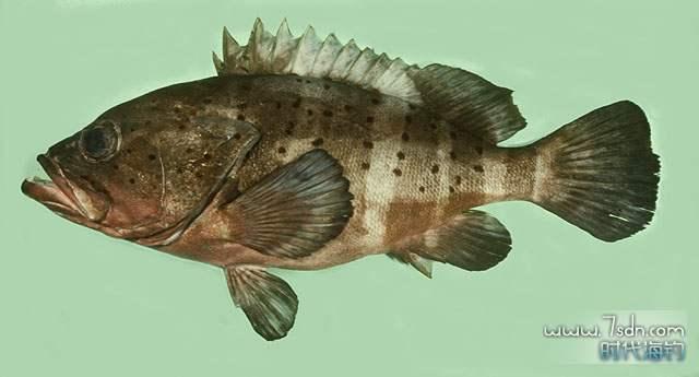 镶点石斑鱼(蔬蘿斑)