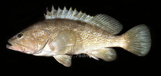 赤点石斑鱼(红斑)