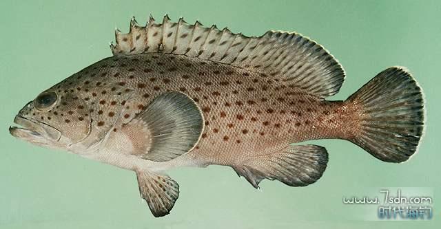 点列石斑鱼图片