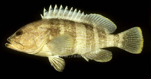 青石斑鱼 (点带石斑)
