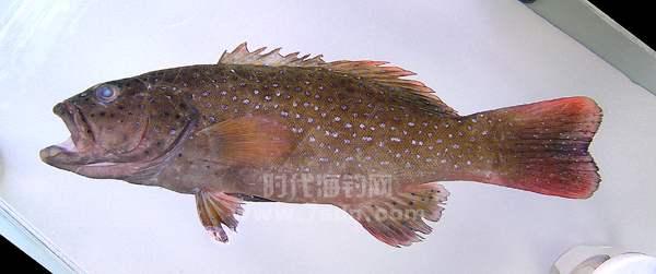 莹点石斑鱼(蓝点石斑鱼、西星斑)