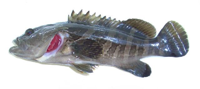 泥斑(褐石斑鱼、云纹石斑鱼)