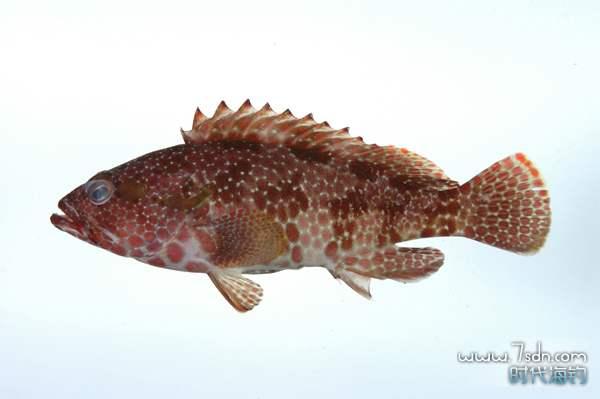 六角石斑鱼图片