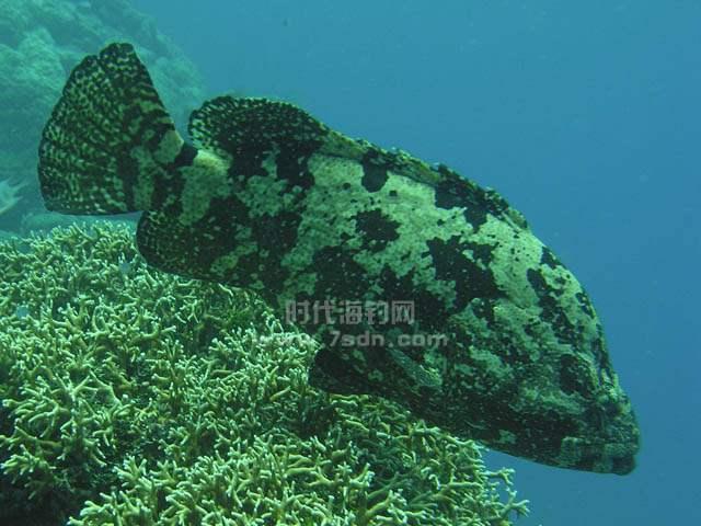棕点石斑鱼(老虎斑)