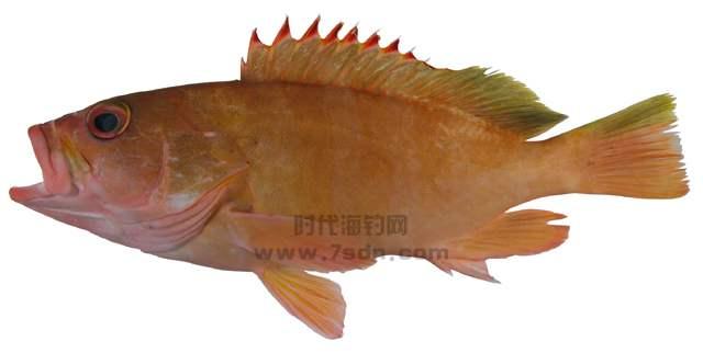 雷拖氏石斑鱼(红梢石斑鱼