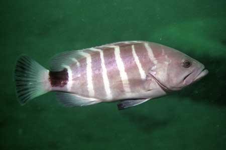七带石斑鱼 (泥斑)