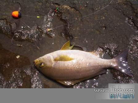 青岛矶钓联盟yellowfish曾经鱼获