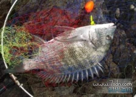 青岛矶钓联盟yellowfish曾经鱼获3