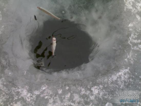 冬天冰钓小公鱼上钩